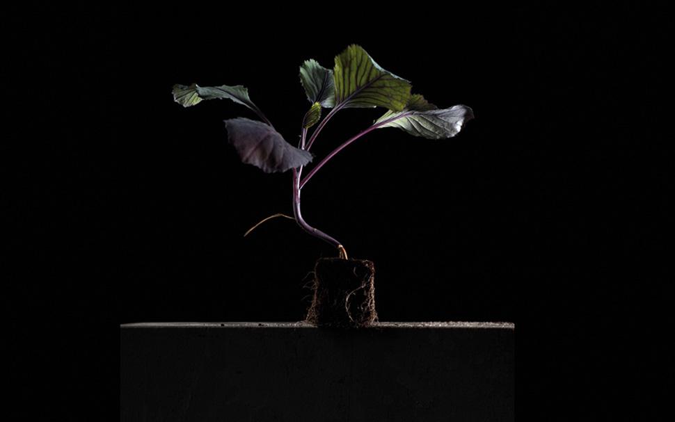 006_RotkohlPflanze